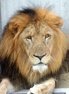 ライオンの画像.jpg